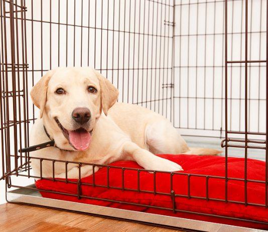 Zadowolony biszkoptowy labrador odpoczywa w otwartej klatce na czerwonym posłaniu